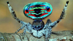 Another peacock spider - yikes!