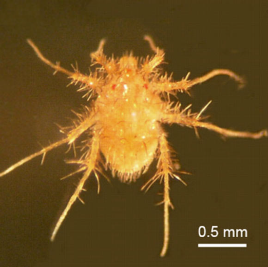 The tiny mite, Paratarsotomus macropalpis, may not be beautiful but it's faster than a cheetah