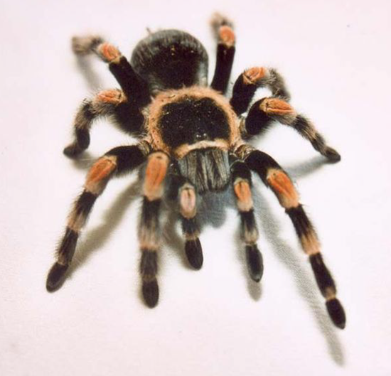 Fear of spiders are one of the most common phobias
