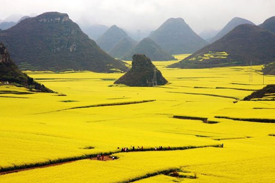China's flower ocean in Luoping