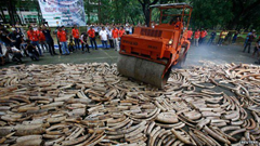 Illegal elephant tusks are often crushed by steamrollers when confiscated from illegal poachers