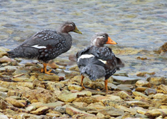 Two steamer ducks planning a bank robbery