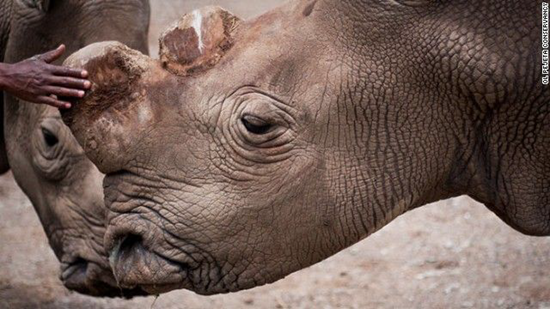 Northern white rhino is on the brink of extinction