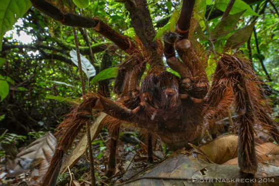 South American Goliath birdeater spider