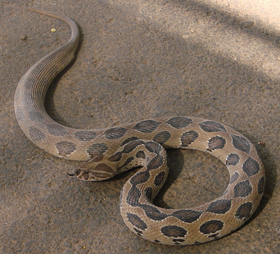 """Russell's Snake Viper - Say """"Hello"""" to my little friend..."""