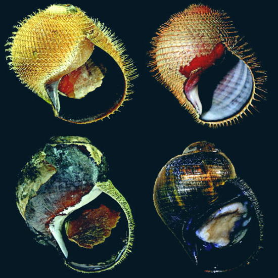 The shell of the Alviniconcha strummeri sea snail is often degraded and damaged by hydrothermal vents in the ocean