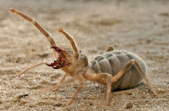 Meet death on eight legs – the fierce and awesome Camel Spider was born to give people nightmares