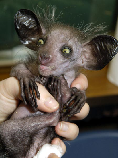 Pick yourself up off the floor - it's only a aye-aye primate