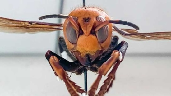 Asian Giant Hornet (murder hornets)