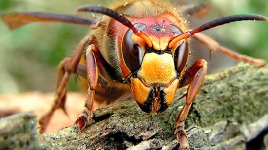 Asian Giant Hornet (murder hornets) close head