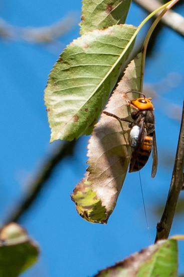 Asian Giant Hornet (murder hornets) wearing radio transmitter