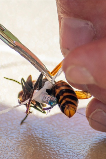 Attaching a radio transmitter to a Asian Giant Hornet (murder hornet)