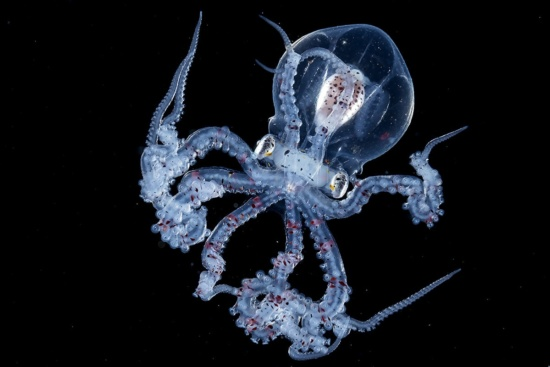 Transparent Wunderpus octopus